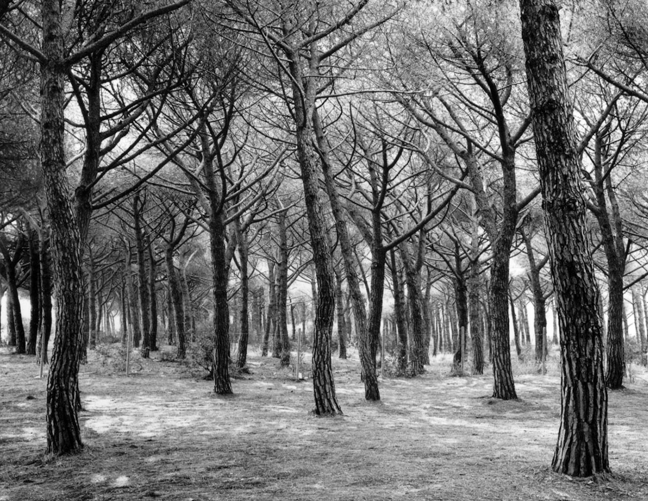 "<span class=""caption-title"">Grove of Trees</span>, Italy, 1990<span class=""caption-copyright"">© Rodney Smith</span>"